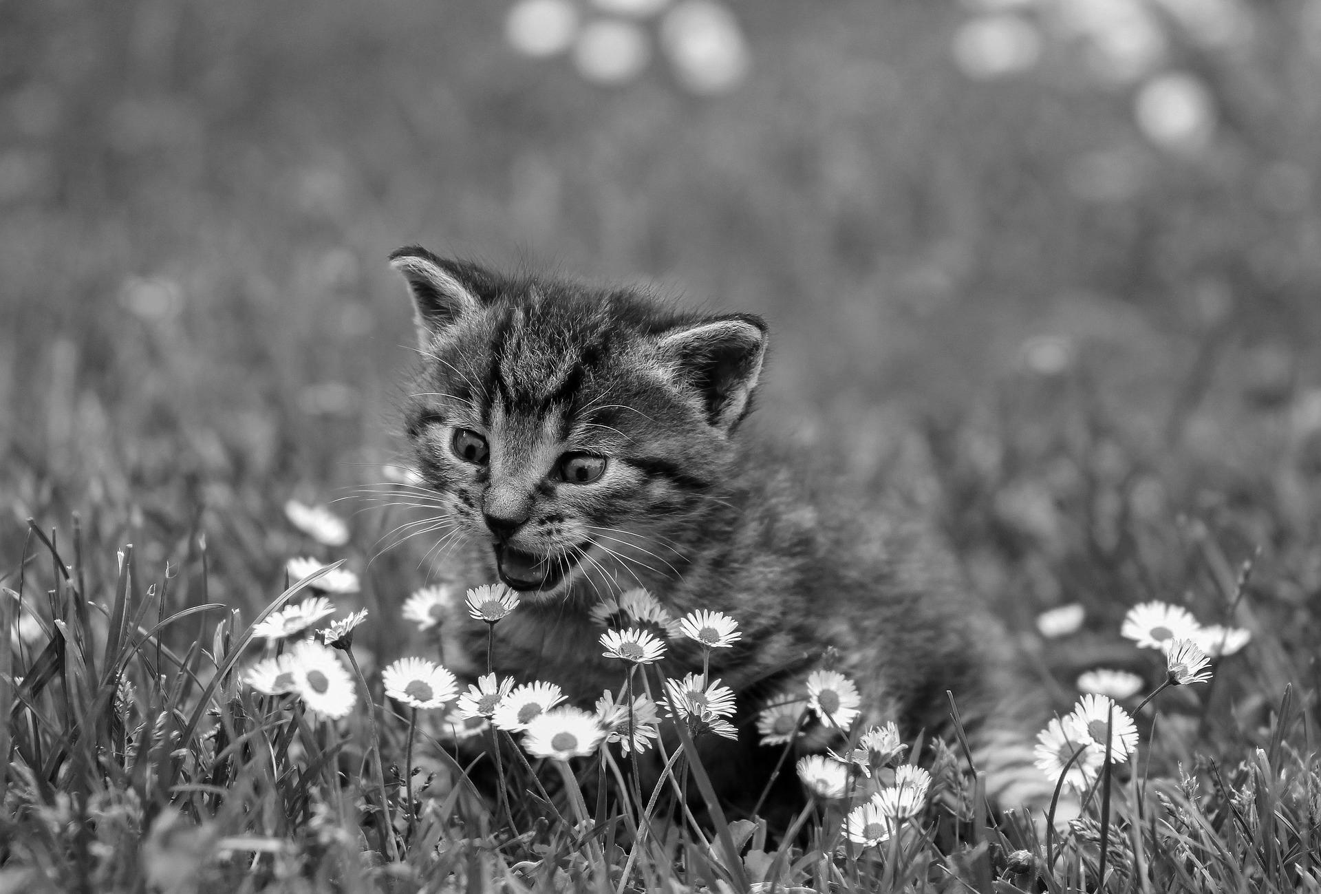 A not-great grayscale version of the kitty.