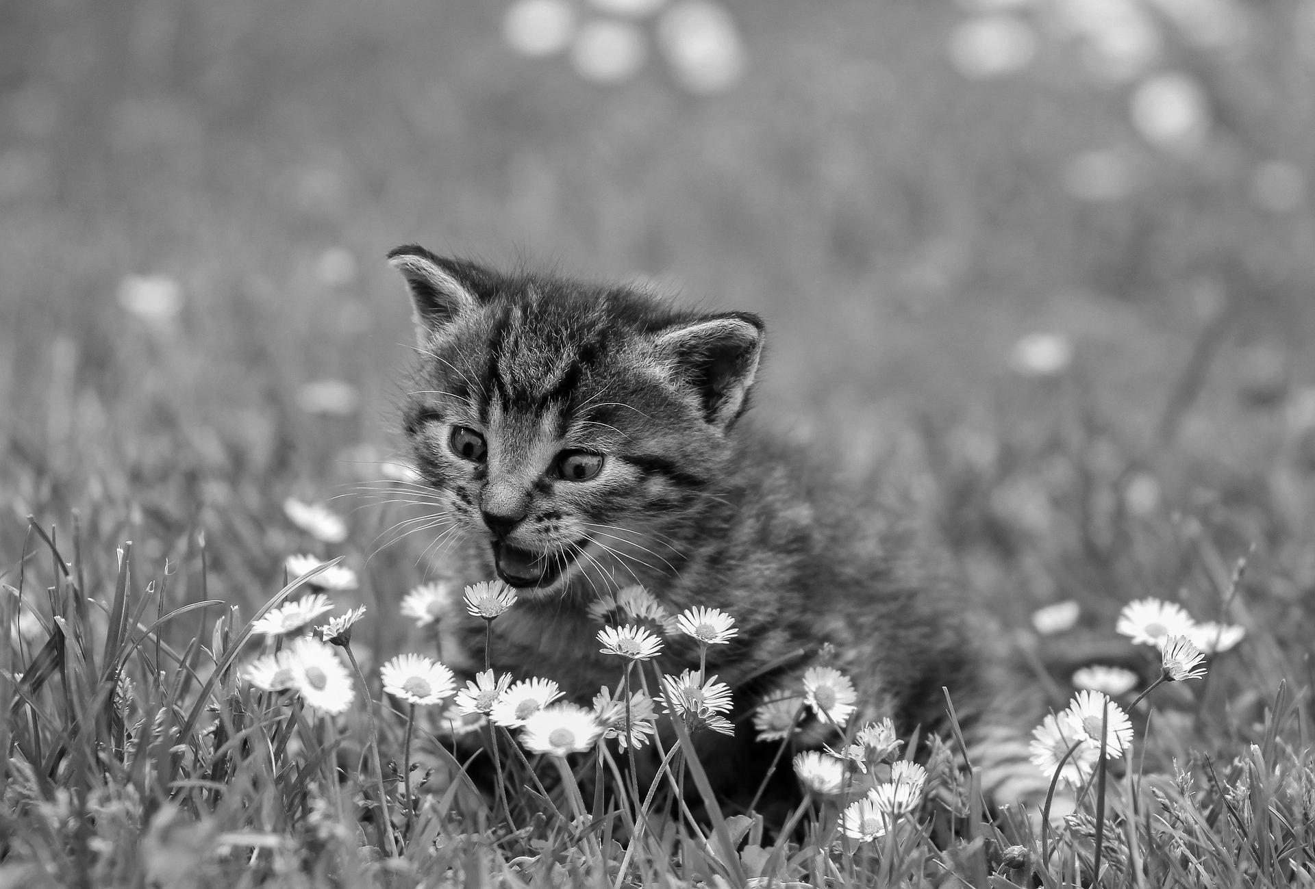 A better grayscale version of the kitty.