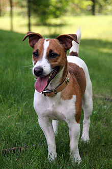 A cute picture of a Jack Russell Terrier